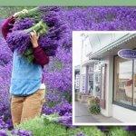 "Purple Haze Lavender Helps Make Sequim ""The Lavender Capital of North America"""