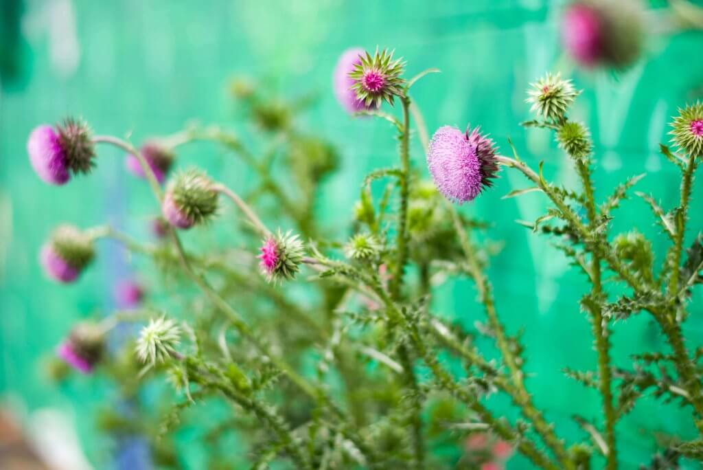Beautiful thistles outside the Thistle Stop Cafe