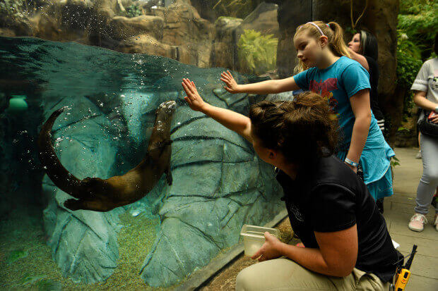 Olive the North American river otter fits in perfectly to her new home in the Denver Aquarium in Denver, Colorado